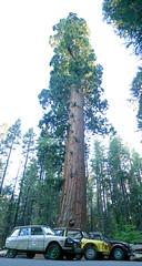 les trois deuches (duettonut) Tags: redwood sequoia