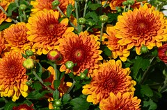 September splendor (deanrr) Tags: flowers autumn orange bronze alabama buds blooms chrysanthemum morgancountyalabama