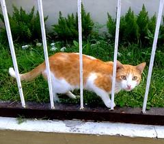Cat Behind Bars (mikeeliza) Tags: white kite green feet beautiful face cat fence fur golden healthy feline chat iron coat lawn may kitty gato manila gata paws cath gatto kats kass katt kato miu felis kissa ket pusa gati meo cattus maow chatz catua ikati mikeeliza