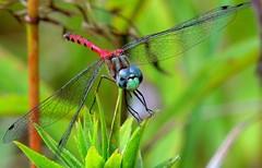 Male Blue-faced Meadowhawk_5541 (Henryr10) Tags: libélula dragonfly dragonflies libellula libellule libelle drekafluga odonata woodlandmound hamiltoncountyparkdistrict cincinnati bluefacedmeadowhawk sympetrumambiguum sympetrum libellulidae meadowhawk greatparksofhamiltoncounty