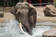 Aziatische olifant (male) (K.Verhulst) Tags: elephants nl amersfoort olifant olifanten amersfoortzoo dierenparkamersfoort aziatischeolifant chimundi asiaticelephants