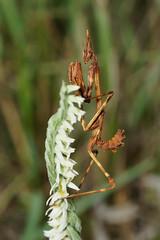 Empuse et Spiralis (rj@ubertsb) Tags: macro nature automne sony octobre orchide spiranthes spiralis empuse tamronspaf90mmf2 rjubertsb