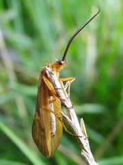 (MyWorldsView) Tags: macro nature grass closeup insect wings bokeh wildlife natur moth gras roach insekt antennae schabe flgel grashalm motte fhler