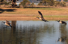 Can. Geese in flight_003 (Walt Barnes) Tags: bird nature canon eos scenery wildlife flight richmond goose calif canadiangeese bif birdinflight 60d millerknox canoneos60d eos60d ebparksok wdbones99