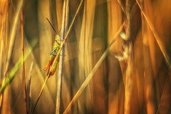 Grasshopper on fire (Witoldhippie) Tags: macro m42 grasshopper witoldhippie