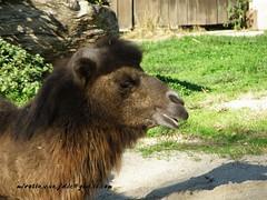 dromedary camel (Miroslav Vajdi) Tags: africa birds animals amazing fantastic best crocodile snakes no1 unbelievable wildanimals photooftheday hypo greatnature freeimage freelicence m1r0slavzg miroslavvajdic