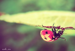 (anh_nv) Tags: red france macro green nature insect leaf olympus ladybug macrolife