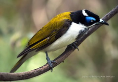 Blue faced honeyeater (PhotoArt Images (mostly off)) Tags: bird australia bluefacedhoneyeater australianwildlife australianfauna clelandnationalpark nikon70200f4 photoartimages