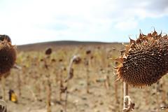 Girapipaetas. (elojeador) Tags: cielo campo nube pipa girasol elojeador camposdegirasoles girapipaeta pipastostadas