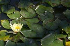 ninfea (lepustimidus) Tags: flower morocco maroc marocco marrakech fiore ninfea jardinmajorelle