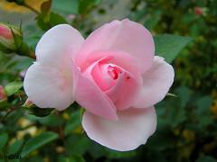PICT0032 (InGaa.) Tags: pflanze rosa spinne grn blume blte garten bltenbltter tier zart