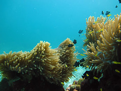 IMG_2019 (Net Diver) Tags: travel fish nature coral thailand island diving kata padi phuket reef anemon вода природа отель путешествия owd остров обучение rachayai 2013 kohrachayai тайланд риф пхукет открытая коралловый andamanian
