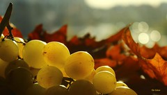 Uvas (Filo Schira) Tags: uva grape raisin uvas grappe