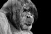 Big Boy (pattoise) Tags: male zoo orangoutang mygearandme mygearandmepremium mygearandmebronze mygearandmesilver mygearandmegold mygearandmeplatinum mygearandmediamond vpu1 laboissieredudoré vpu2 vpu3 vpu4 vpu5 vpu6 vpu7