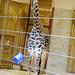 Really Tall Giraffe