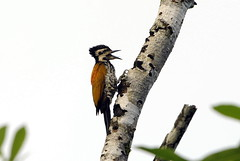 Common Flameback (Sergey Yeliseev) Tags: commonflameback dinopiumjavanese vision:text=0602 vision:outdoor=0765