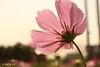 波斯菊@竹北麻園(cosmos @ Zhubei City, Taiwan) (digi0712) Tags: flower canon taiwan 花 台灣 cosmos 波斯菊 竹北 麻園 zhubei efs1855mmf3556is canoneoskissx2 canonkissx2 digi0712