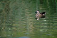 A different duck (Aztlek) Tags: ilovenature photography nikon colombia bogot 500mm itza f63 fotografa cundinamarca bluewingedteal ufr