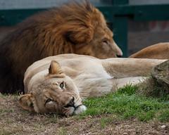 Morning Already? (Explored) (WalrusTexas) Tags: grass cat zoo lion houston earthtone ruby3 ef100400mmf4556lisusm anthropocene ruby10 ruby15