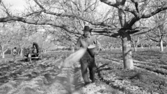 Fertilizing the Thornburg walnut orchard, 1938 (Orange County Archives) Tags: california history farming historical southerncalifornia orangecounty agriculture orangecountyarchives orangecountyhistory