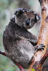 Rain Koala - Matilda (beeater) Tags: {vision}:{outdoor}=0905