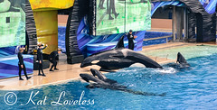 Sea World San Diego (Loveless Kitten) Tags: ocean show california water nikon sandiego socal orca seaworld shamu killerwhale