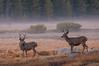 Bucks at Twilight (Nick Chill Photography) Tags: california nature animal fauna mammal nikon sandiego wildlife yosemitenationalpark muledeer animalia stockimage odocoileushemionus d300s nickchill
