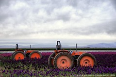 Two Tractors in Flower Fields (lhg_11, 1.5 million views. Thank you!) Tags: california agriculture tractors saltonsea farmmachinery i