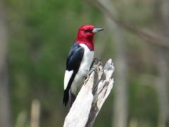 Red-headed Woodpecker by SpeedyJR (SpeedyJR) Tags: nature birds wildlife indiana explore woodpeckers redheadedwoodpecker beverlyshoresindiana beverlyshoresin speedyjr ©2014janicerodriguez