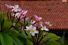 Temple Flower 01 (Hashan Photography) Tags: photography plumeria srilanka araliya templeflower hashan hashanphotography