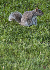A Squirrel Well Traveled (trainmann1) Tags: cute nature grass yard outside outdoors rodent furry nikon squirrel wildlife tail handheld nikkor amateur fuzz scavenge 18200mm d90