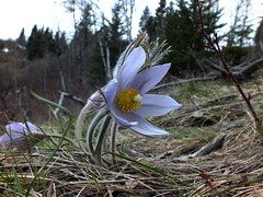 Bull Creek Hills Snow Hike -  Purple Pasque Flower starts to open (benlarhome) Tags: winter snow canada ice trekking trek kananaskis spring hiking path walk crocus hike trail alberta bluebird bullcreek purplepasqueflower bullhills