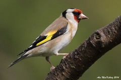 Goldfinch (AMKs_Photos) Tags: forest canon photography eos scotland tit angus goldfinch 7d fringillidae amk carduelis montreathmont amksphotos