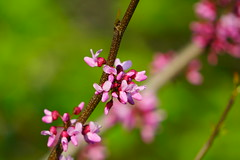 Spring Pink (AncasterZ) Tags: pink flower bokeh sony a6000 sel55210 ilce6000