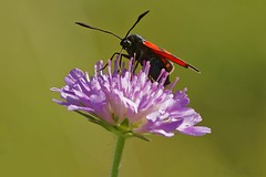Zygaena on Knautia arvensis - Zygne sur scabieuse (Sbastien Vermande) Tags: canon7d france midipyrnes lot bokeh macro t summer flower fleur macrophotography insect insectmacro macrolens macrophotographie papillon butterfly mariposa farfalla nature wild sigma150macroexdg sigmaapoteleconverter14xexdg vermande