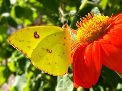 Cloudless Sulphur (rstickney37) Tags: phoebis phoebissennae sulphurbutterfly sulphur cloudlesssulphur northcarolinabutterflies tithonia mexicansunflower museumoflifescience museumoflifeandscience