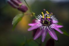 Passion (hploeckl) Tags: pentacon 50mm 18 dof bokeh nikon switzerland botanical garden passion flower