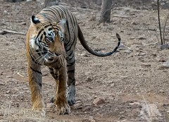 Bengal Tiger (fascinationwildlife) Tags: animal mammal tiger bengal india asia wild wildlife cat predator big tigress ranthambhore forest summer heat female nature natur national