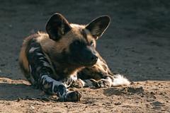 Afrikanischer Wildhund (astroaxel) Tags: zoo duisburg afrikanischer wildhund hund deutschland nrw nordrhein westfalen nordrheinwestfalen