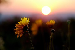 (Andreas669) Tags: sonnenuntergang sonnenblume garten garden sunset sunrays sunflower sunflowers sonnenstrahlen