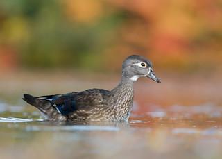 Canard Branchu - Canard carolin - Aix sponsa - Wood Duck
