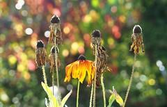The last one [Explored Oct 23, 2016] (G_E_R_D) Tags: sonnenhut rudbeckia autumn fall herbst sunshine bokeh