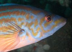 hello fish face (richie rocket) Tags: scillies seasearch scillyisles cornwall uk underwater scuba diving