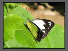 Butterflies-Vanuatu (Douglas Dew butterflies) Tags: caper gull cepora perimale