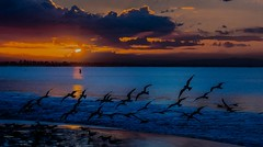 Birds at Sunrise--in explore (beachpeepsrus) Tags: beach birds beachfront blackskimmers sky shore water sunrise sihlouette clouds color c