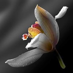 Cymbidium (Pixel Fusion) Tags: cymbidium orchid flower flora nature macro nikon d600