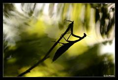 Mantis religiosa 18 (jo.pensel) Tags: macrophotographie macro mantis mantisreligiosa mantes mantereligieuse insecte imagenature insectes insect invertbr contrejour capsizun bretagne finistre france faunedebretagne biodiversit nature naturebretagne enthomologie environnement jopensel jocelynpensel pensel