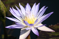 Palest Purple (eyriel) Tags: flower garden water lily waterlily nature macro lavender