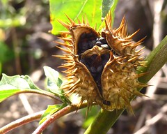 Seed pod (unkleD) Tags: pods seeds spines
