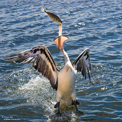 Catch of the day (trevager) Tags: albany australia birds boat brightpixphotography copyrighttrevorager cruise fish kalganriver pelican percy